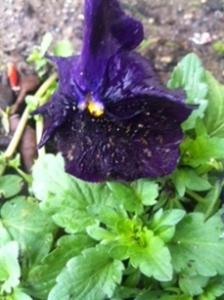 Pansy Planted last Fall