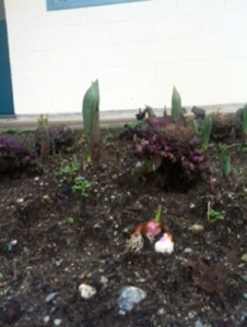 Front Garden, bulbs are poking up & some were unearthed…